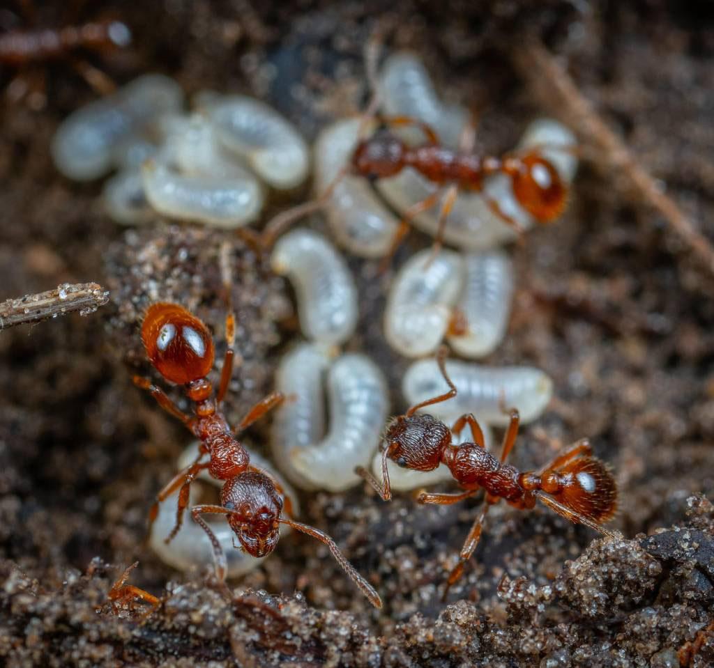 Ant Control in Menifee,CA