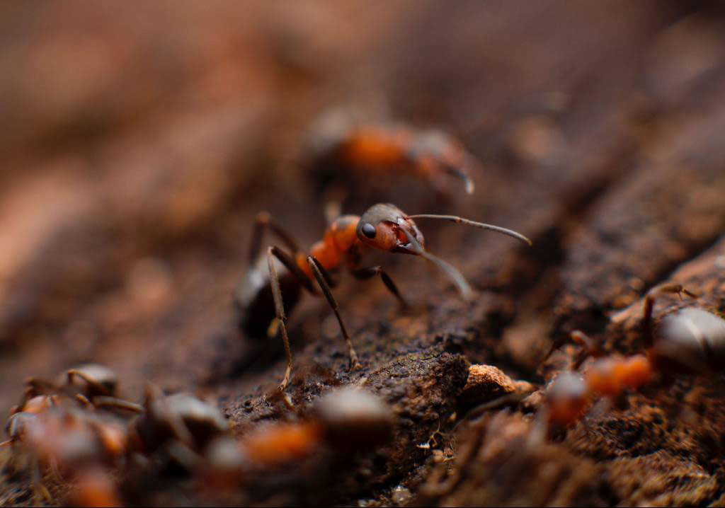 Ant Control in and near Menifee, Ca