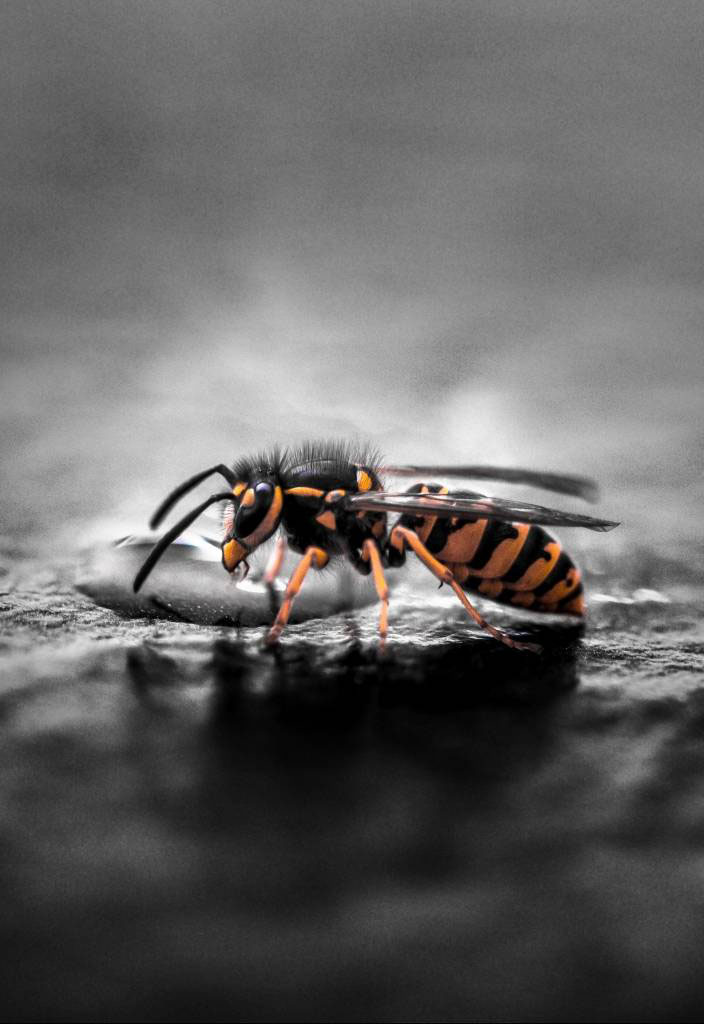 Wasp Control services