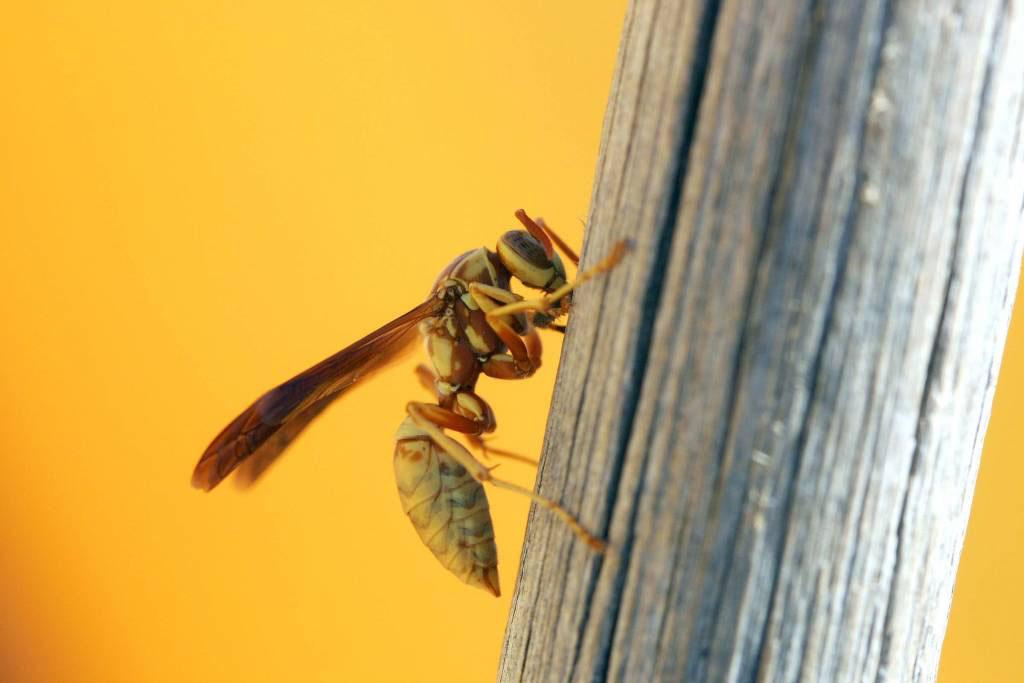 Wasp Control in & near Menifee, CA